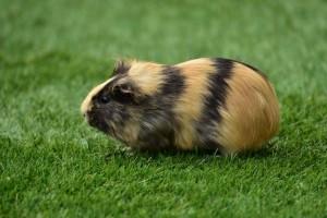 guinea-pig-house-cavia-porcellus-guinea-pig-caviidae